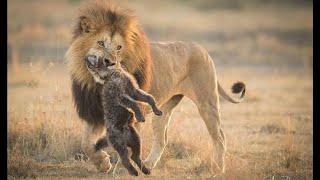 львы и гиены lvy i giyeny