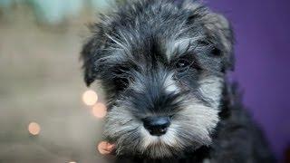 Schnauzer Puppies For Sale December, 21 2013 @ Kellyskennels.co.uk