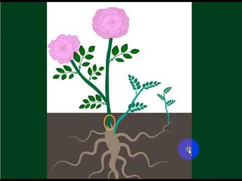 Вопрос: Как из шиповника сделать розу?