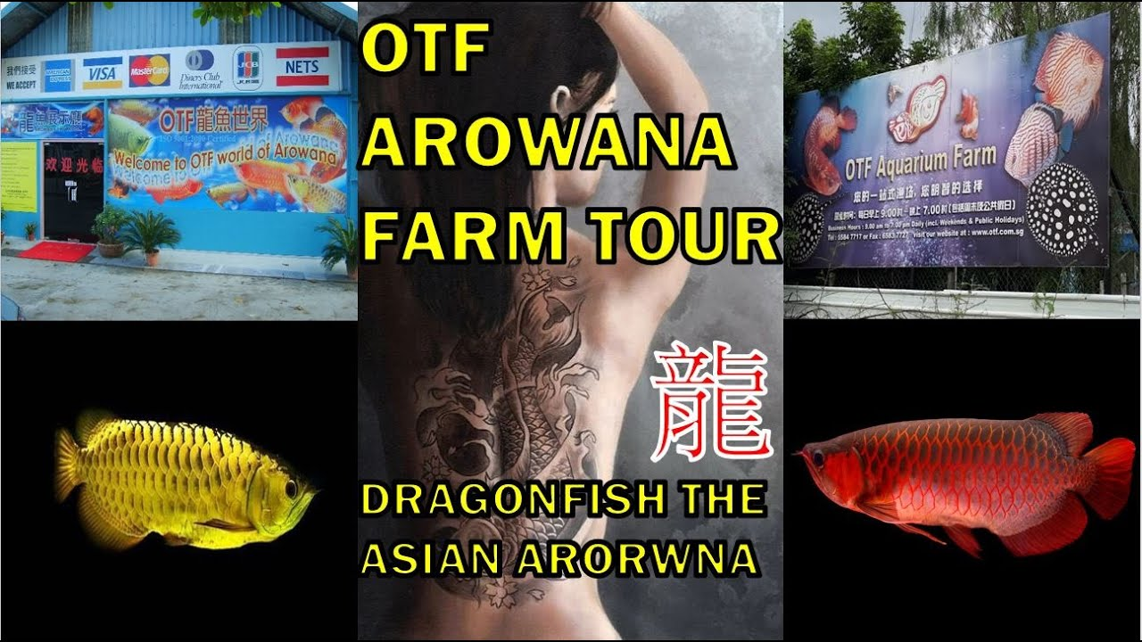 OTF AQUARIUM FARM? SHOWROOM? AQUARIUM? #Arowana #龙鱼 #DRAGON FISH !