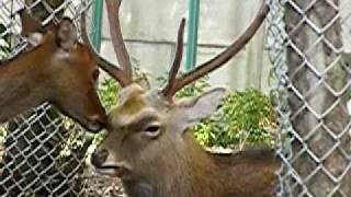新小岩香取神社の神鹿