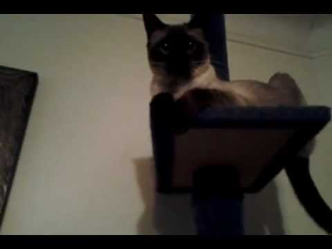 """Siamese cat stands up 2 her name""""Machete"""""""