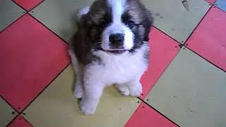 Щенок московской сторожевой охранная сторожевая крупная порода собак