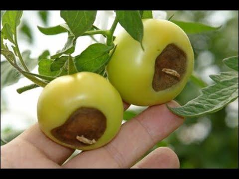 Вершинная гниль томата и меры борьбы с ней