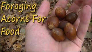 Foraging Wild Edibles - Gathering Acorns For Food