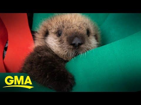 Rescued baby sea otters find forever home at Georgia aquarium l GMA