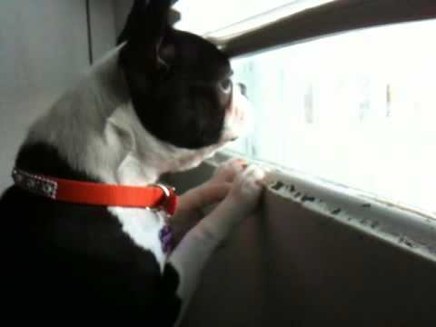 boston-terrier-puppy-barking