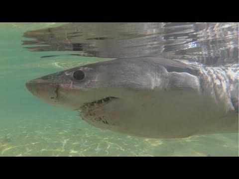 Great White Shark In Manly Beach, Sydney (vlog)