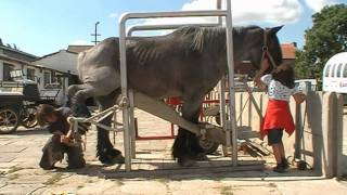 Download Belgian draft with very bad hooves meets the farrier Mp3 and Videos