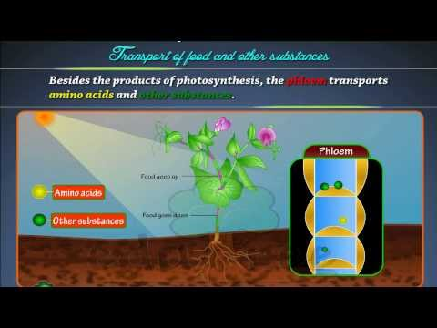 Transport of food in plants by edutree (HD)