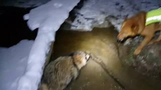 Карело-финская лайка охота на енота видео