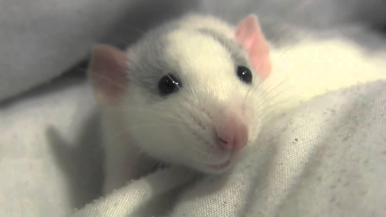 Cute baby rats - photo#16