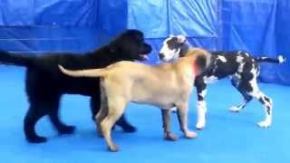 Danes, And Mastiffs And Newfie's Oh My!