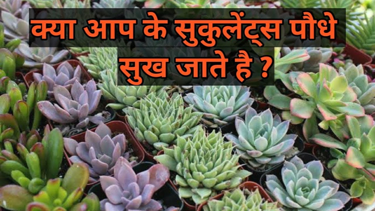 Care of Succulents in Summer | How to Grow and Care Succulents in Summer Season - Delhi Dudes
