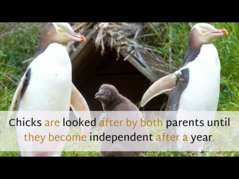 18 Unknown Facts You Should Know About Yellow Eyed Penguin