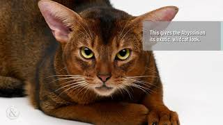 Fascinating Facts About the Abyssinian Cat  | Mittens and Max