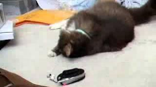 ネコ声の着信音に戸惑いながらも律儀に鳴き返すネコ thumbnail
