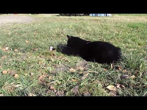 Black Manx cat tosses mouse around