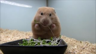 ハムスターが私が育てたブロッコリースプラウトを食べる様子です。その...