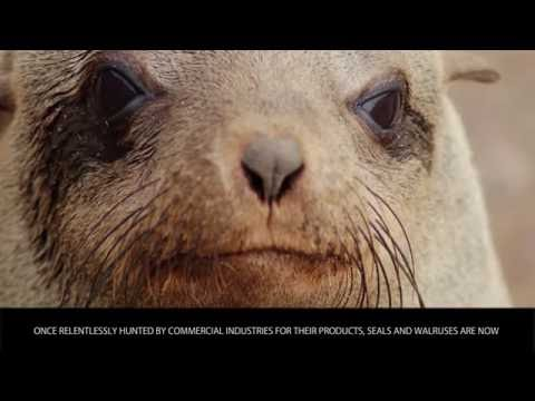 Seals - Animals Category - Wiki Videos by Kinedio