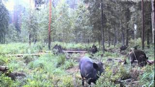 Alutaguse, Estonia  Wild boars  Алутагузе, Эстония  Дикие кабаны