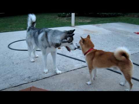 Shiba Inu - Dog Aggression?
