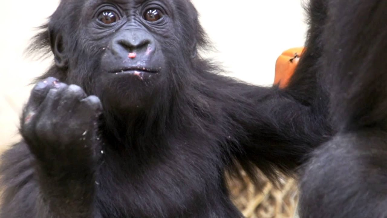 Gladys Baby Gorilla Gets Birthday Cake Cincinnati Zoo