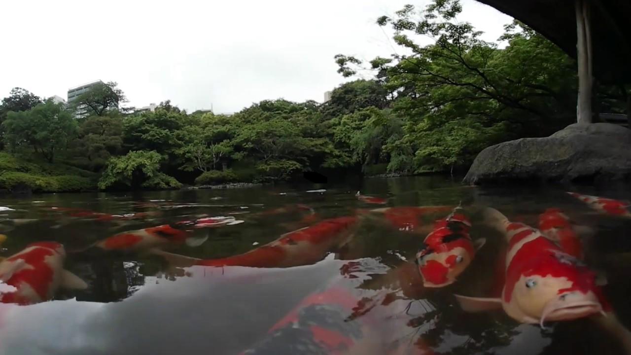 360°VR動画 鯉と遊んでみました