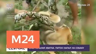Дети спасли собаку, которую пытался задушить питон - Москва 24