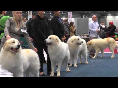 WDS2017 - Pyrenean Mountain Dog - ChampionMale