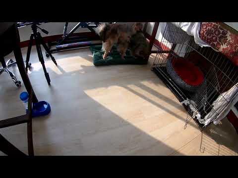 Pomeranian mating | Pomeranian Try to mate | Pomeranian Vlog