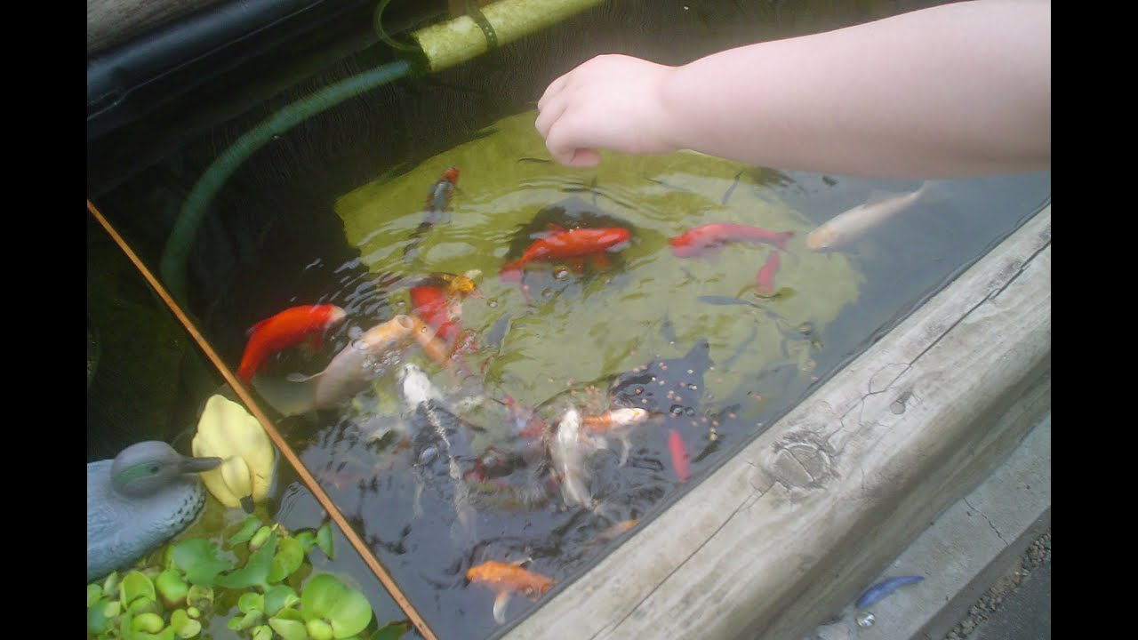 Our fish pond pics with names types of some of our for Koi carp names