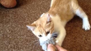 Бендеровский кот шипит с игрушкой во рту))