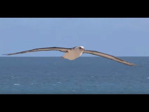 Saving Albatrosses - How to Reduce Seabird Bycatch - Tuna Longline Fisheries - English