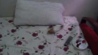 haha guinea pig, television, afraid and hiding :).& ginepig televizyondan korkuyor ve saklanıyor :)