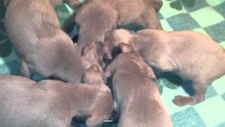 ワイマラナーの子犬が1月13日に男の子が5頭生まれました。