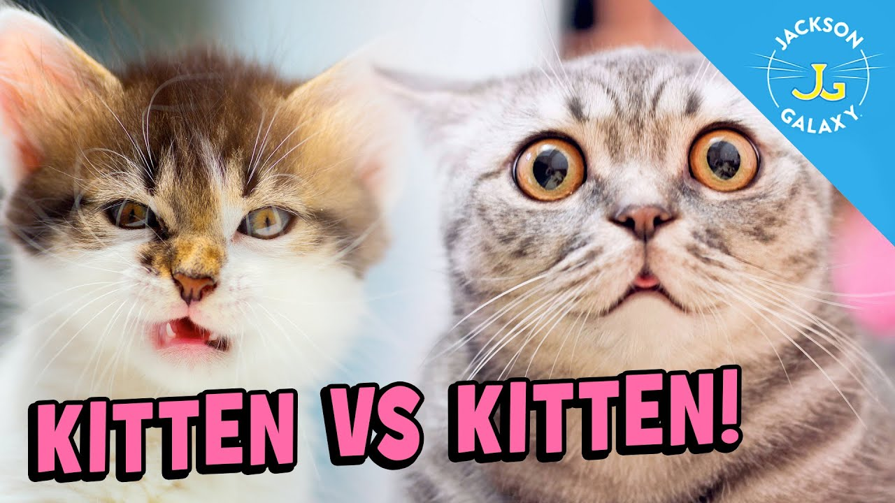 Kittens & Rough Play: A Little Age Difference = A lot of Trouble