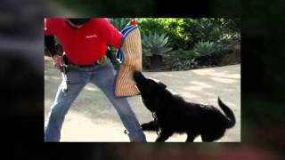 Dog Protection Training Temecula Ca Professional Dog Protection Trainer