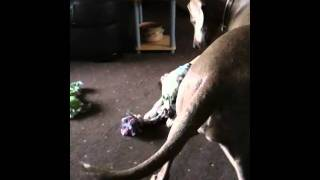 Dalmatian Pup Jack And Weimaraner Freya