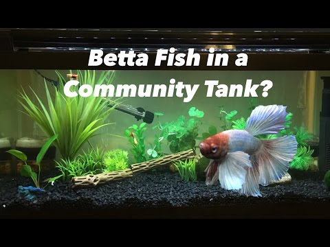 Can A Betta Fish Live With Other Fish.