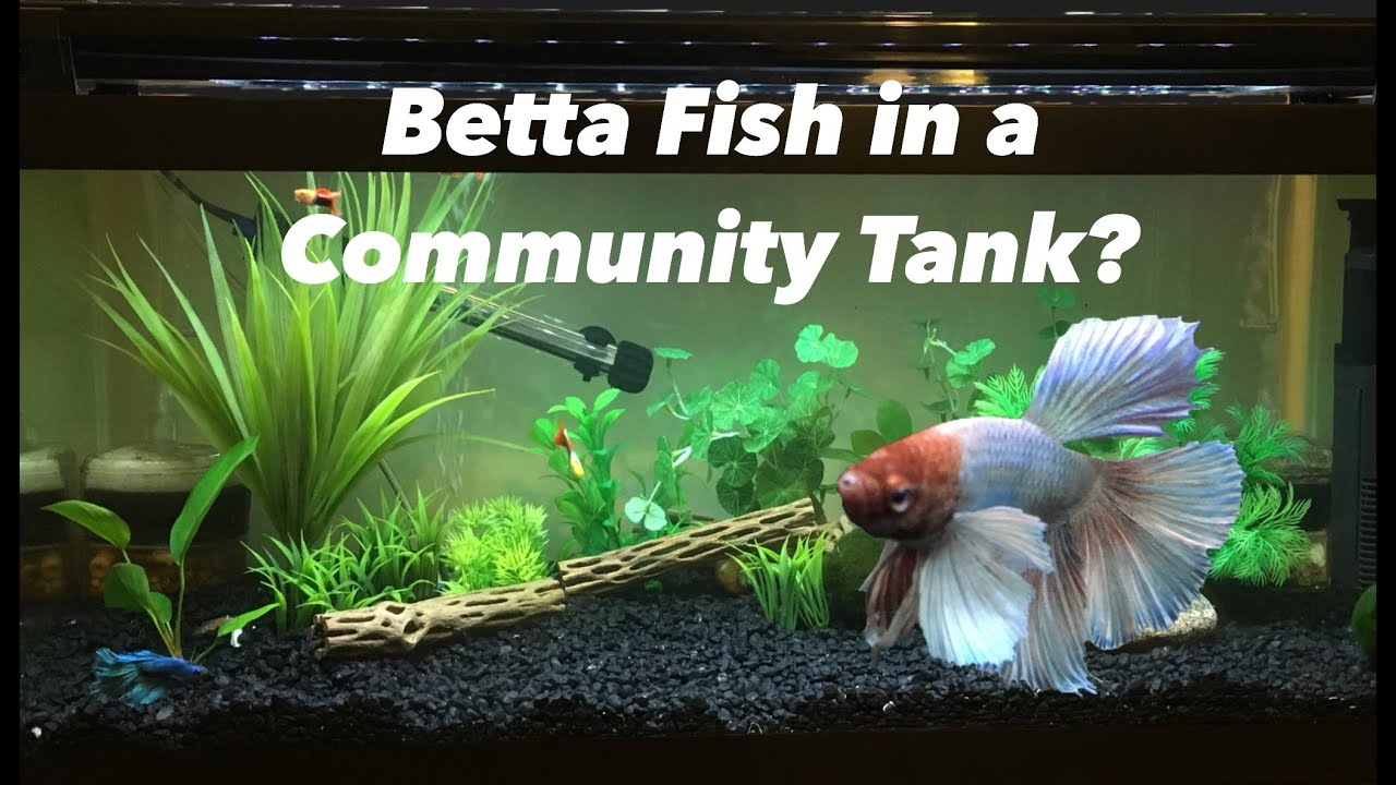 Can a betta fish live with other fish youtube for Live to fish