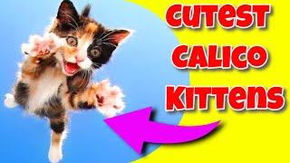 Calico Cats 101  Calico Cats Luck  Cute Calico Kittens