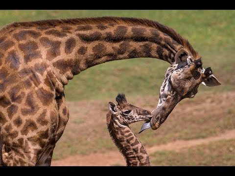Giraffe Calf Meets Herd and Makes History