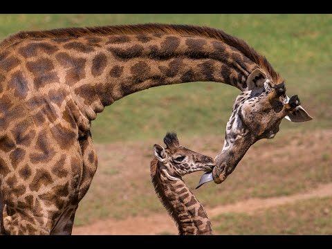 Giraffe Calf Meets Herd and Makes History thumbnail