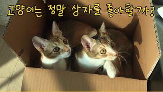 고양이는 원래부터 상자를 좋아할까? (ft. 교촌치킨 …