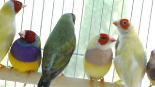 Gouldian Finches 9/12/2010