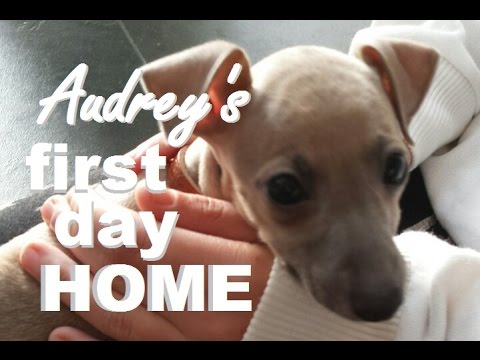 ITALIAN GREYHOUND PUPPY'S FIRST DAY HOME ❤️