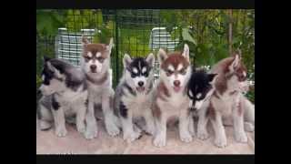 Все породы собак.Аляскинский маламут (Alaskan Malamute)