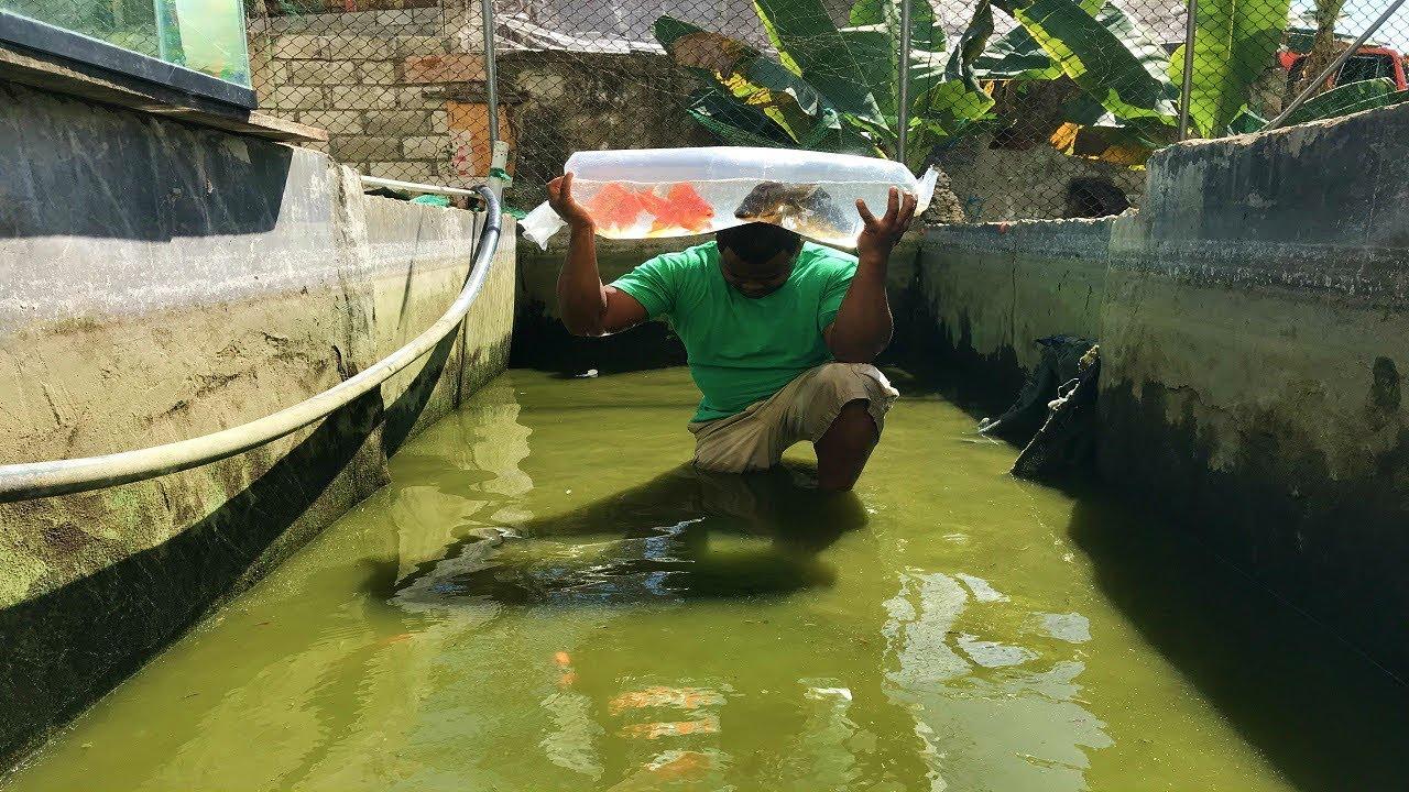 Que sucedi con uno de los peces goldfish monstruo youtube for Criadero de peces goldfish