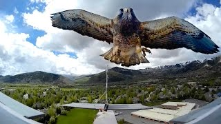RC Plane ATTACKED by HAWK